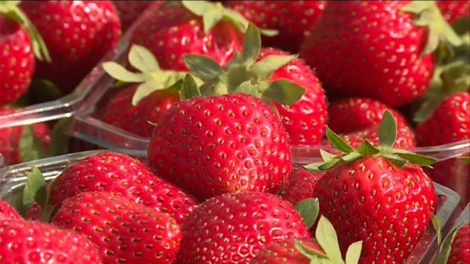 fraises de Champagne Ardenne
